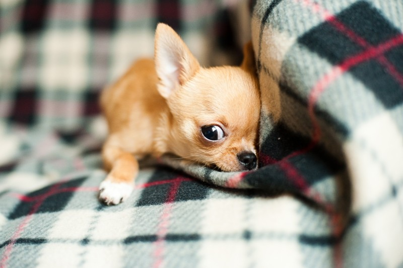 portrait-of-chihuahua-puppy-relaxing-on-blanket